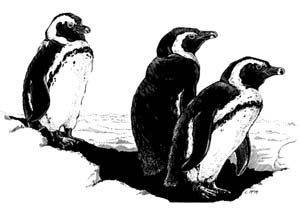 African Penguin, line-art by L. McMahon