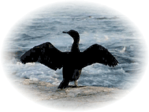 Adult Bank Cormorant