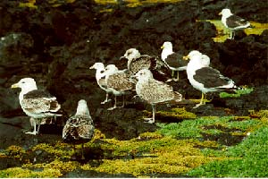 Kelp Gull flock