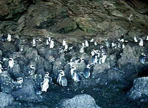 Sylvia Hill: cave with penguins