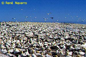Malgas Island carpeted by breeding Cape gannets