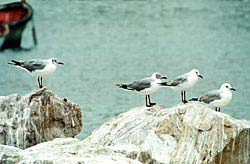 Two Greyheaded Gulls and two Hartlaub's Gulls
