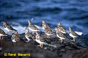 Turnstones - Arenaria interpres