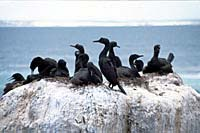 Bank cormorants at Seal Island, False Bay