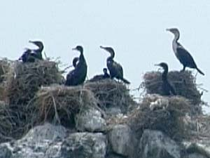 White-breasted Cormorants nesting