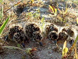 Blacksmith Plover chicks