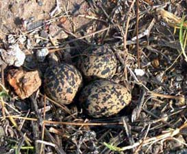 Blacksmith Plover nest