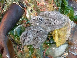 African Black Oystercatcher chicks