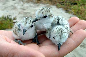 White-fronted Plover chicks